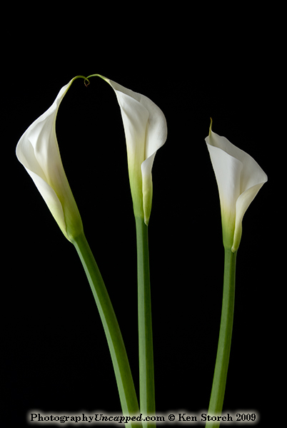 douglas bucy the calla lilies are in bloom. Black Bedroom Furniture Sets. Home Design Ideas